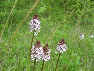 Orchis pourpres